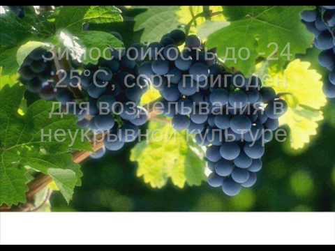 Виноград августин: описание сорта и советы по выращиванию