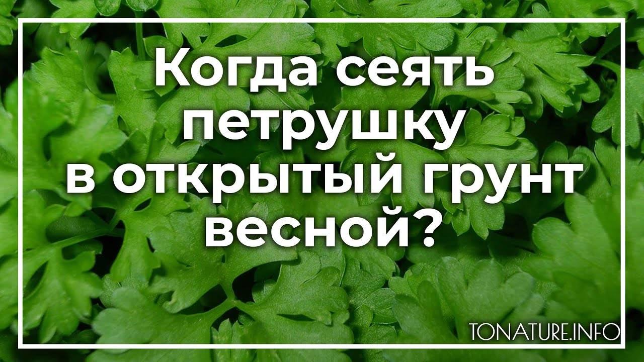 Выращиваем петрушку. когда и куда сажать? как ухаживать? фото — ботаничка.ru