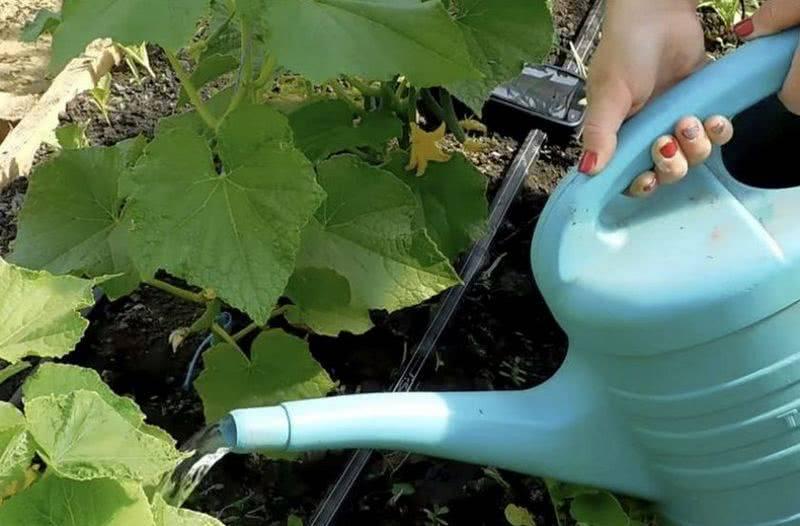 Как часто поливать огурцы в открытом грунте в жару. как часто нужно поливать огурцы в теплице. чем подкормить огурцы чтобы не было пустоцвета, для урожая,чтобы не желтели листья