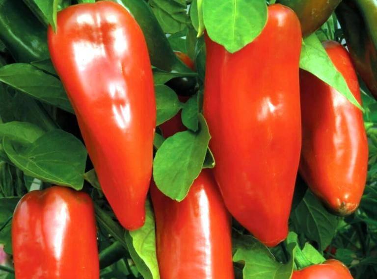 Перец ласточка: характеристика и описание сорта с фото, отзывы о семенах и урожае, особенности выращивания