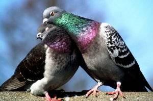 Голубь самец и самка в чем отличие. как отличить голубя от голубки: определяем пол