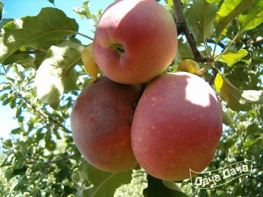 Низкорослая яблоня память коваленко
