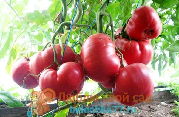 Вкусные сорта помидоров для выращивания в открытом грунте