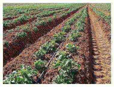 На каком расстоянии сажать помидоры — 105 фото и видео рекомендации садоводов и огородников