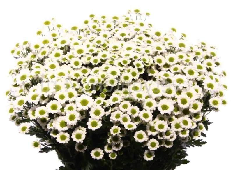 Белые хризантемы: сорта, особенности ухода, фото - sadovnikam.ru