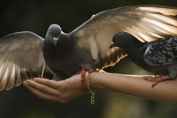 Как отличить голубя от голубки: определяем пол