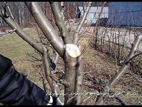 Как обрезать молодую яблоню осенью: руководство для начинающих