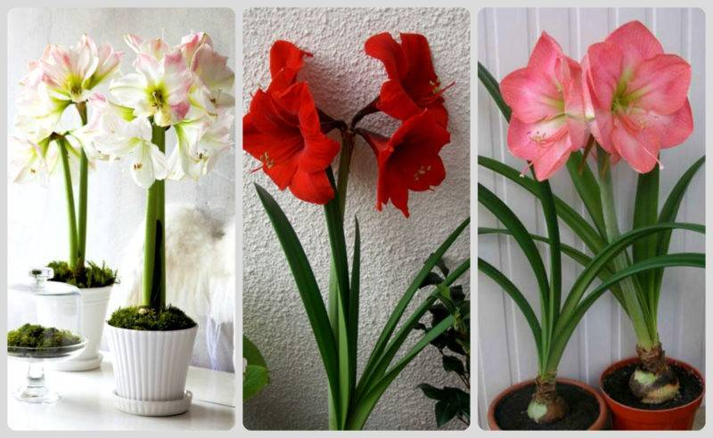 Луковичные цветы фото и названия комнатные, садовые, первоцветы