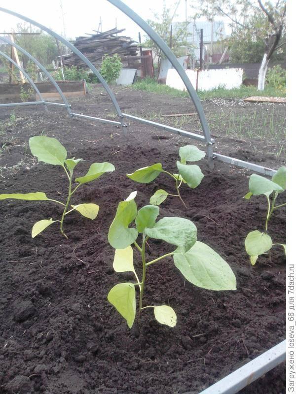 Самурай баклажан: описание, выращивание, уход, фото