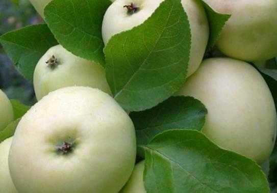 Особенности посадки и ухода за яблоней сорта дочь папировки