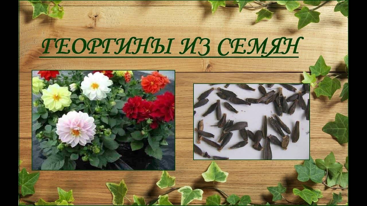 Как вырастить хорошую рассаду однолетних георгинов из семян
