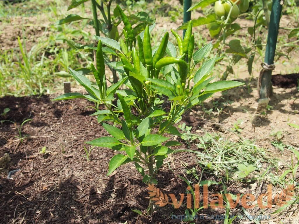 Выясняем как сажать перец на рассаду в торфяных горшочках: подготовка к посадке, правила пересадки, советы по высадке молодых растений