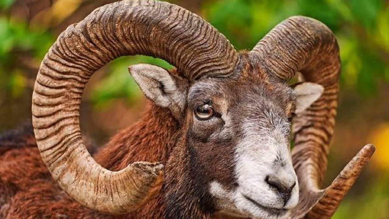 Отличительные характеристики алтайских баранов, особенности размножения и рацион питания