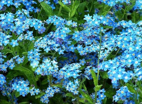 Незабудка цветок