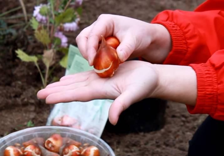 Как и когда сажать луковицы тюльпанов осенью в открытый грунт: сроки, правила, схемы