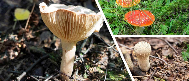 Грибы алтайского края: фото, съедобные и ядовитые, карта грибных мест