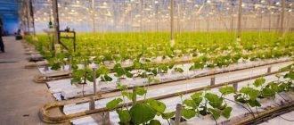 Выращивание огурцов в теплице зимой: с чего начинать, технология, пересадка в теплицу и урожайность русский фермер
