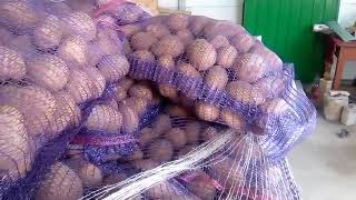 Раннеспелый нетребовательный в уходе сорт картофеля латона с клубнями желтого цвета