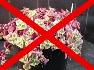 Какие растения нельзя держать дома и почему?
