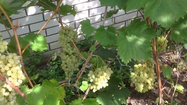 Виноград русбол — описание и особенности сорта