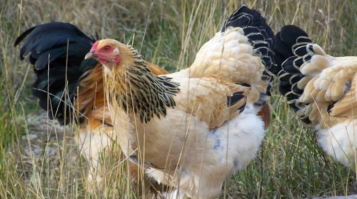 Куры брама (49 фото): описание породы. когда начинают нестись и какова их яйценоскость? уход за цыплятами и кормление, отзывы владельцев