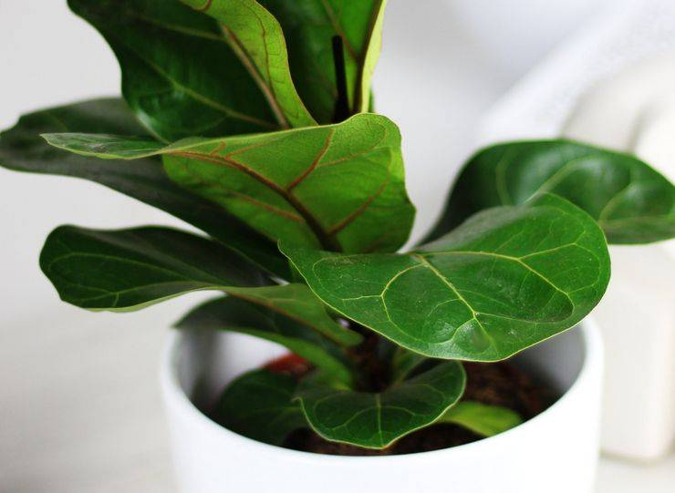 Фикус лировидный — выращивание в домашних условиях