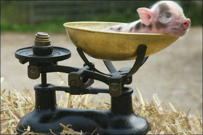 Сколько весит свинья - таблица веса по размерам, как узнать без весов