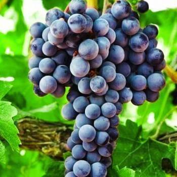 Сорта винограда с описанием, характеристикой и отзывами, в том числе неприхотливые, а также лучшие для разных областей и регионов