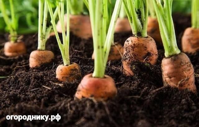 Подкормить морковь народными средствами: чем полить всходы, которые плохо растут в открытом грунте, можно ли настоем крапивы, коровяком, как применять удобрения? русский фермер