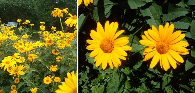 Гелиопсис многолетний: посадка и уход, фото яркого и необычного цветка