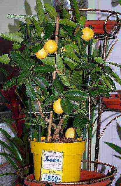 Лимон лунарио описание