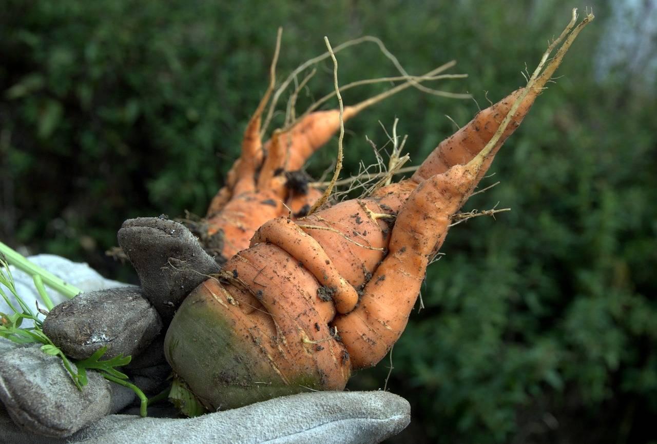 Подкормка моркови и свеклы народными средствами и минералами