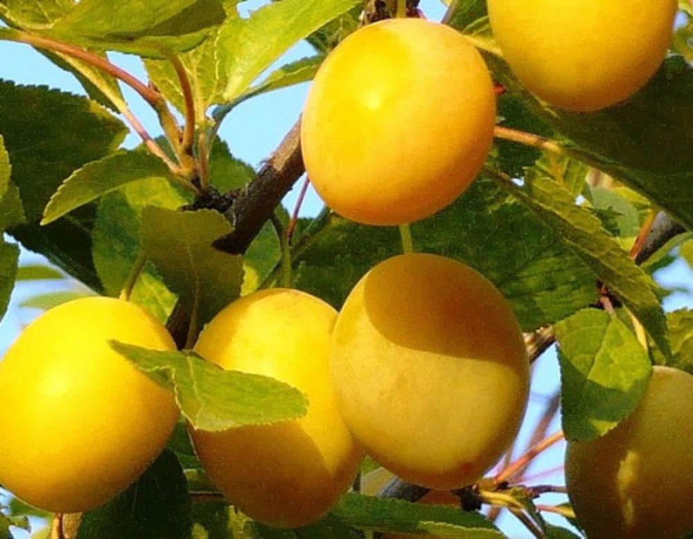 Сорт сливы ренклод ранний, описание, характеристика и отзывы, особенности выращивания
