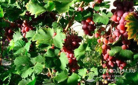 Виноград виктория: описание сорта, фото и отзывы