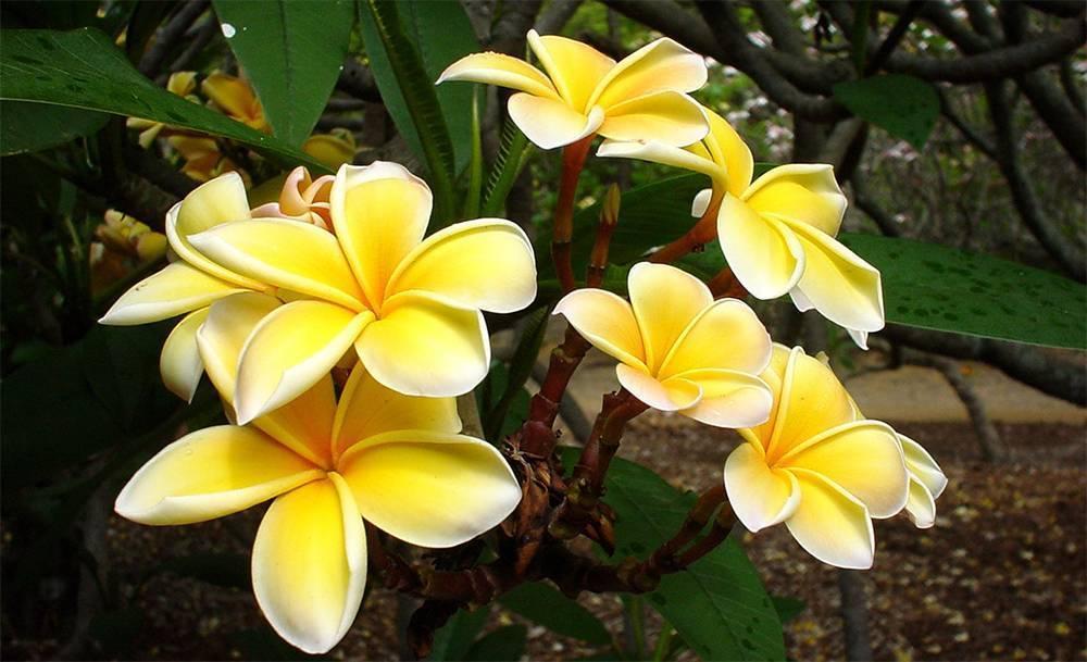 Плюмерия — самая ароматная среди красивоцветущих. уход в комнатных условиях. фото — ботаничка.ru