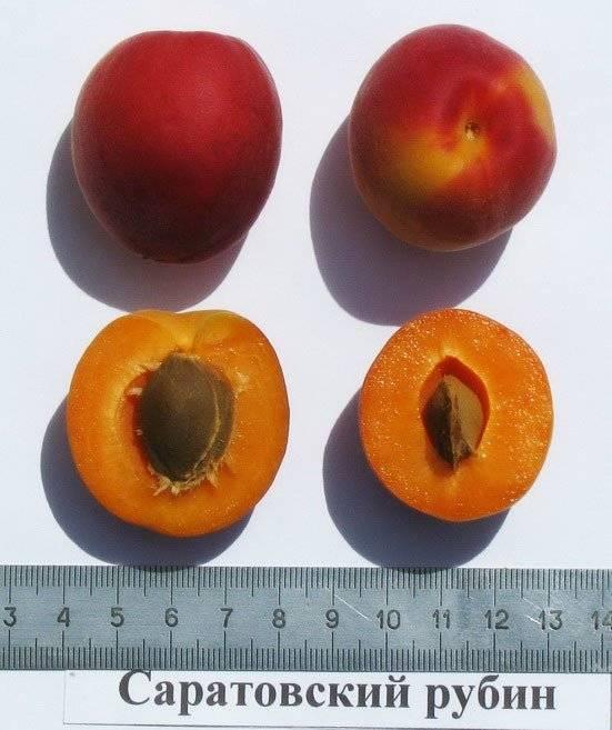 Саратовский рубин - абрикос: описание сорта, характеристики, отзывы. обрезка абрикоса