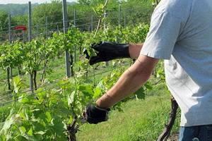 Основные схемы и правила формирования винограда