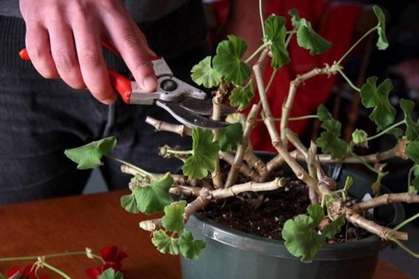 Герань обрезка для пышного цветения весной и осенью, схема фото видео