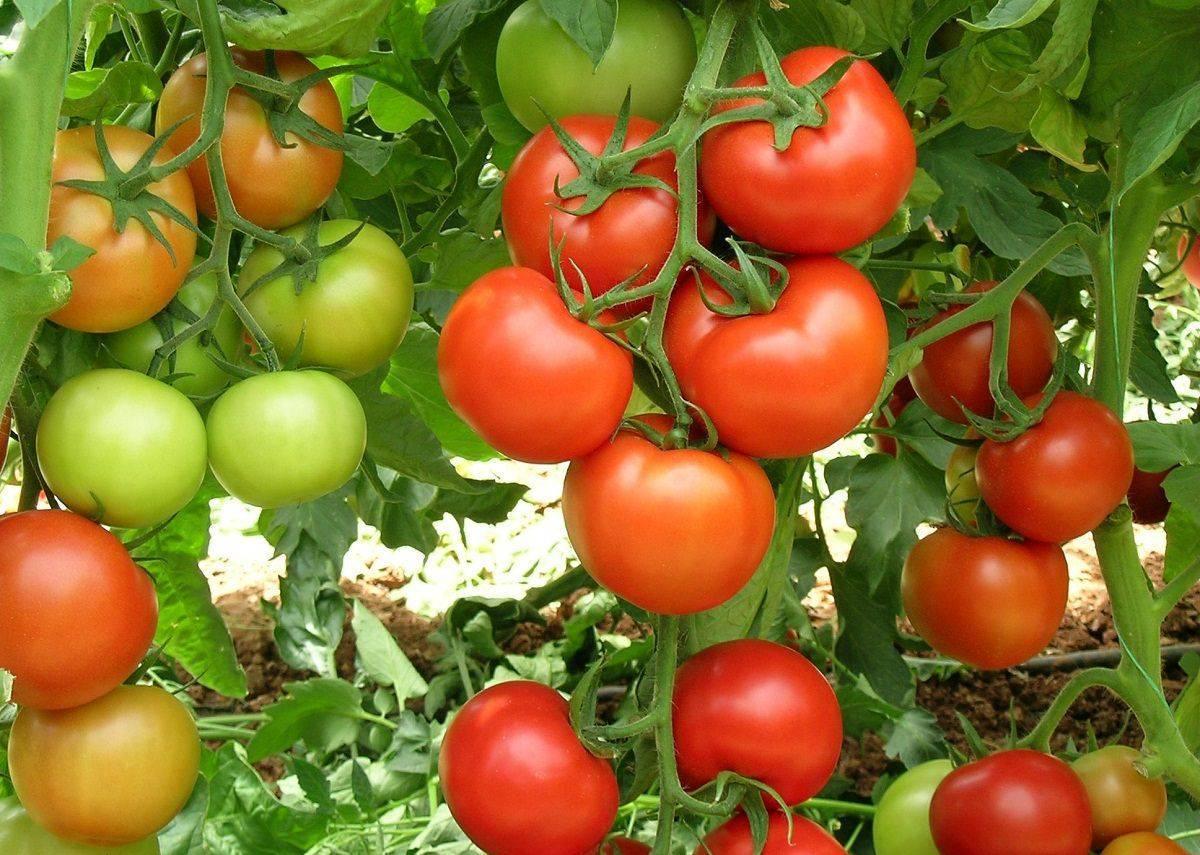 На какую глубину сажать семена томатов на рассаду