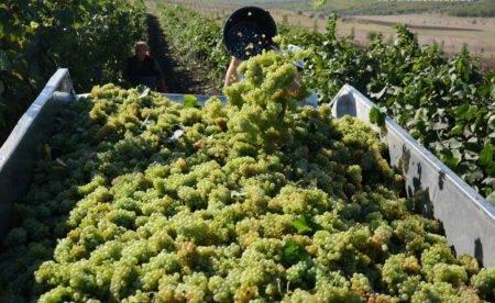Описание винограда алешенькин