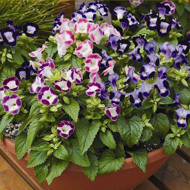 Торения выращивание - theflowers