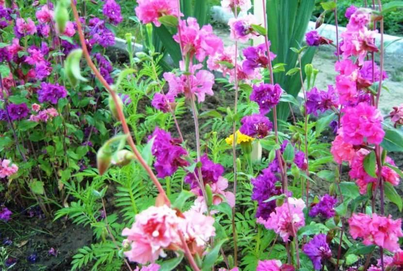Кларкия выращивание из семян когда сажать на рассаду в домашних условиях