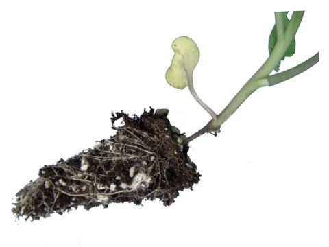 Черная ножка – что делать? лечение черной ножки на рассаде