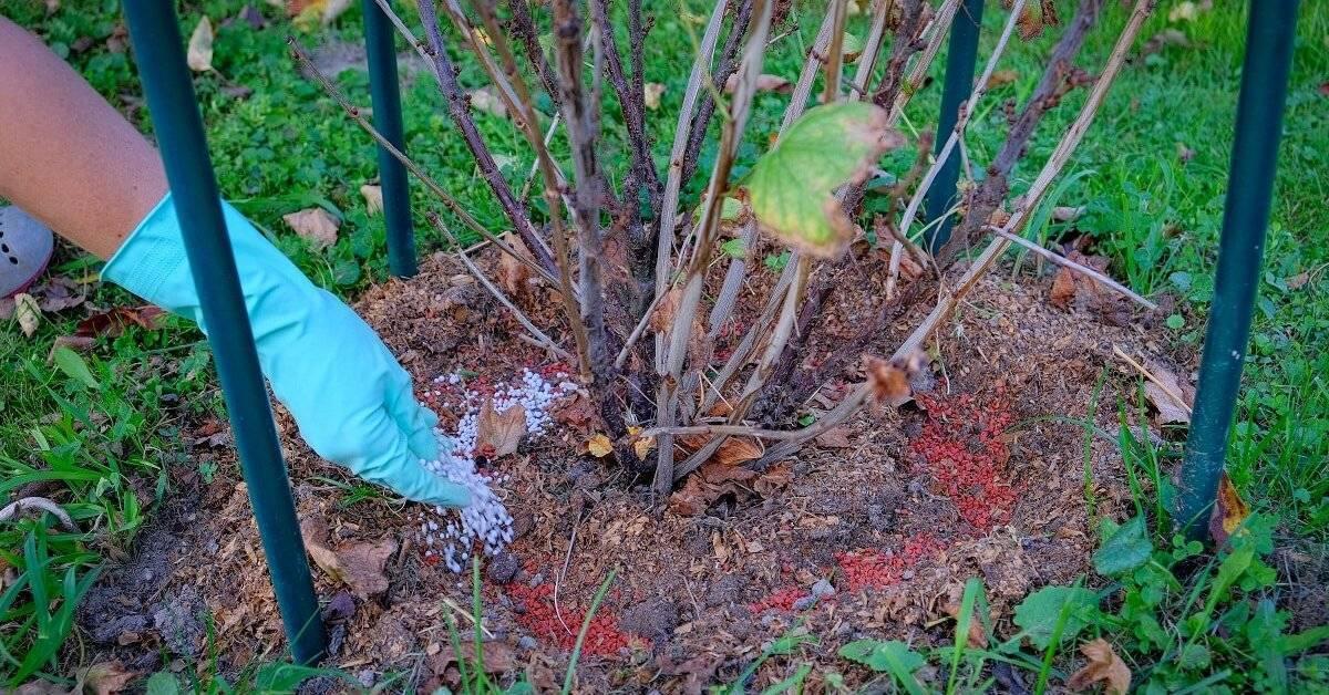 Подкормка смородины под корень и опрыскиванием