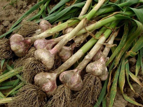 Выращивание чеснока: как ухаживать, чтобы был хороший урожай