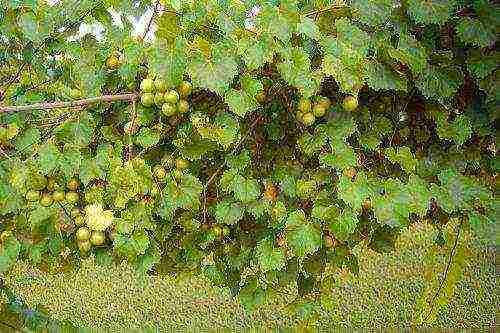 Описание винограда мускат блау