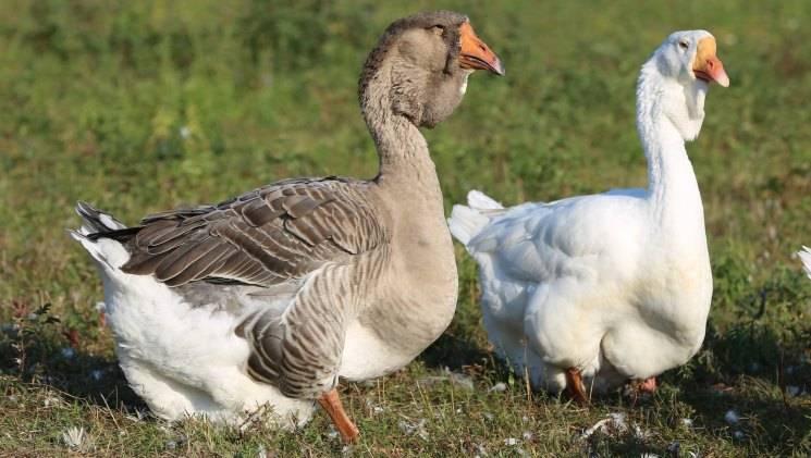 Болезни гусей: симптомы и лечение авитаминоза, кокцидиоза