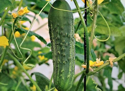 Огурцы сорта «емеля f1»: характеристики и советы по агротехнике