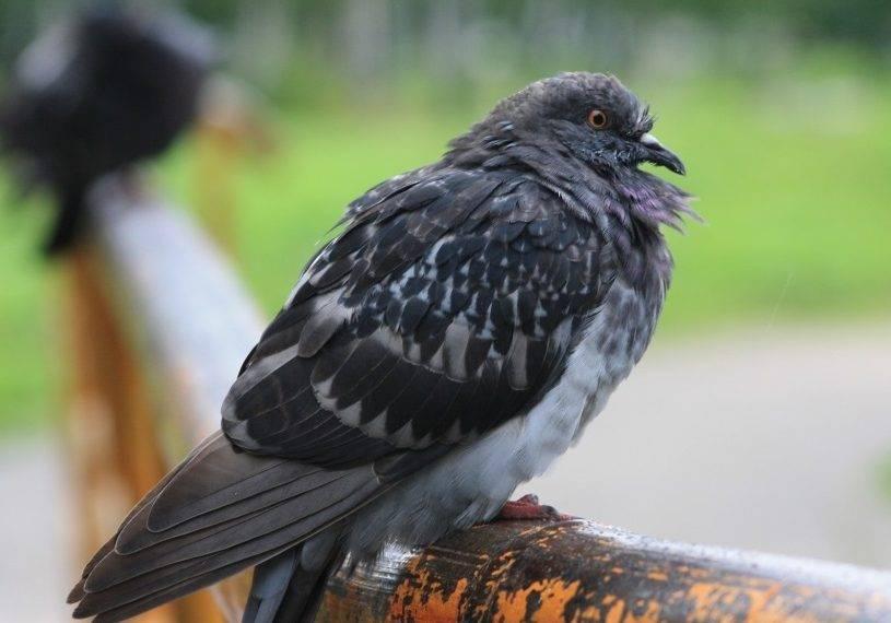 Болезни голубей: какие инфекции переносят и их лечение