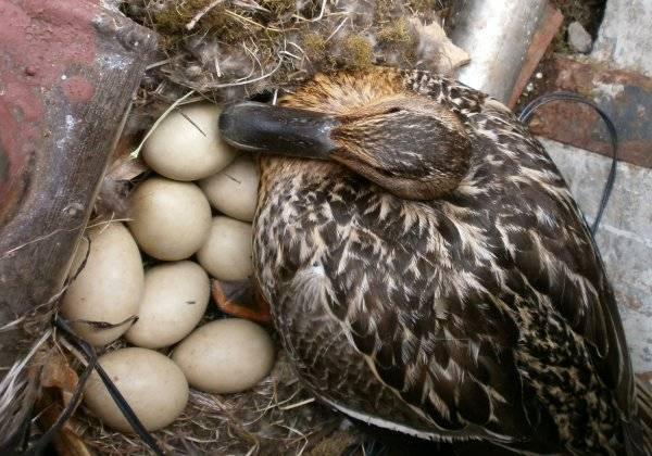Утки несутся в одно гнездо - что делать?